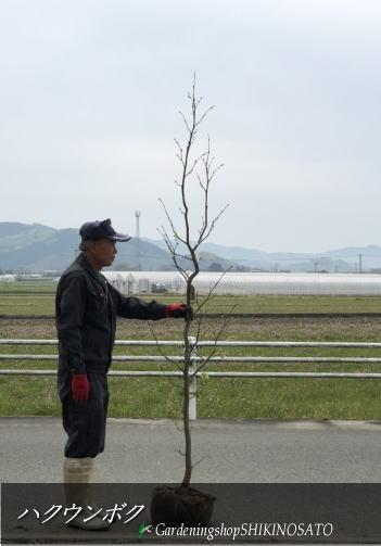 ハクウンボク/白雲木(樹高:2m内外)2020.4月撮影