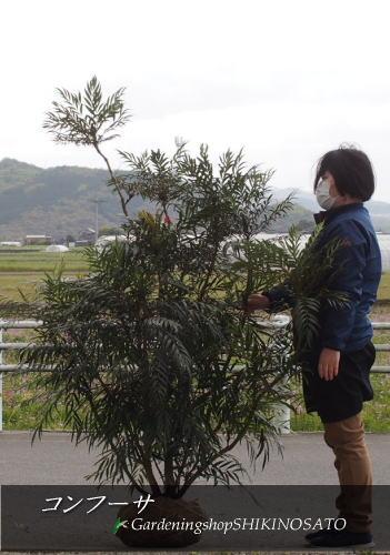 【送料無料】ボリュームありマホニア・コンフーサ (樹高:1.5m内外)2020.4月撮影