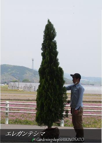 【シンボツツリー・コニファーガーデン】コニファー/エレガンテシマ (樹高:2.5m内外)2020.4月撮影