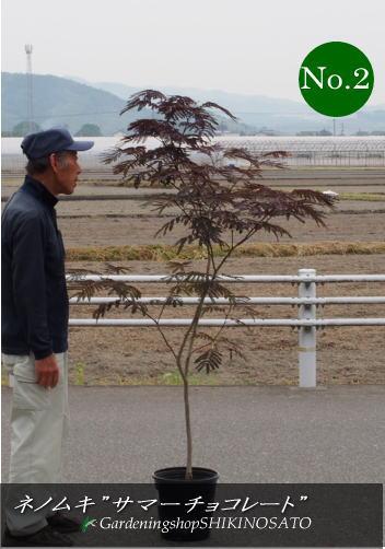 希少種・銅葉ネムノキ