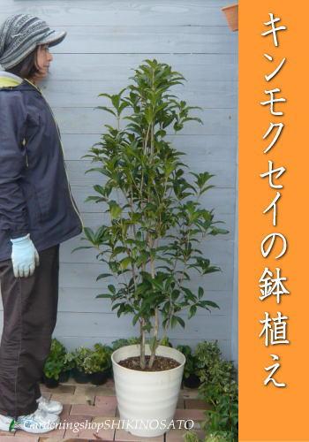 【送料無料】キンモクセイの鉢植え/金木犀鉢植え(樹高:1.0m内外)(全体高さ:1.3m内外)