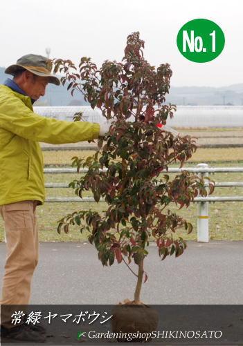 2本限定 常緑樹 送料無料 樹高:1.3m内外 2020.12月撮影 半額 常緑ヤマボウシ 公式通販
