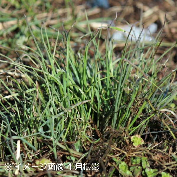 ちょっと植えておくと大活躍 2ポット ノビル 9cmポット苗2ポットセット 安売り 野蒜 山菜苗 耐寒性多年草 付与