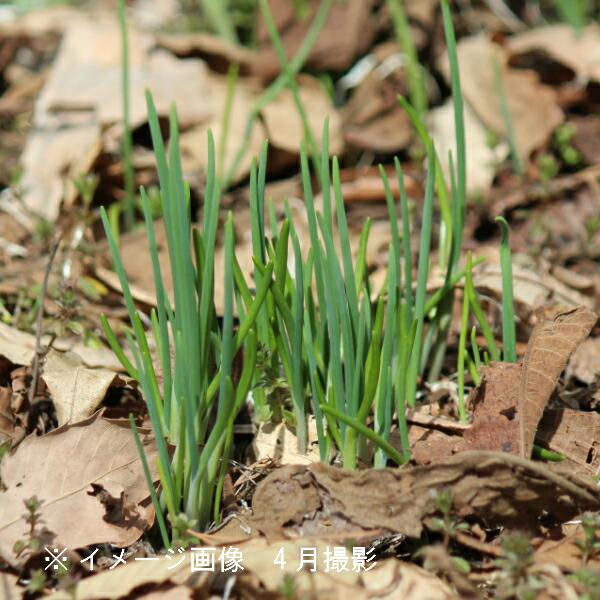正規激安 ちょっと植えておくと大活躍 日本産 40ポット アサツキ 9cmポット仮植え苗40ポットセット 耐寒性多年草 浅葱 山菜苗