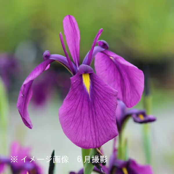 28ポット ノハナショウブ 10.5cmポット苗28ポットセット 野花菖蒲 贈答品 湿地植物 耐寒性多年草 高品質