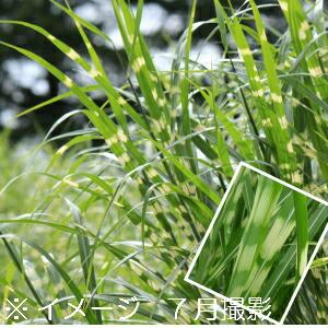 別名 ヤハズススキ 日本正規代理店品 葉に模様があります 1ポット タカノハススキ 10.5cmポット苗 ※今季開花終了 大規模セール 山野草 鷹の羽ススキ 矢羽薄 耐寒性多年草