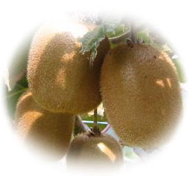 夜間瀬の果物には勝てない と果物王国長野では定評 キウイ 国産 長野県 夜間瀬 産地直送 新作 低農薬 有機肥料栽培 キウイフルーツ ビタミンC アクチニジン 食物繊維 発送時期:12月下旬頃~2月頃 酵素 E 葉酸※2019年は全体的に小ぶりサイズです 約2kg カリウム 超激得SALE 約20~25個