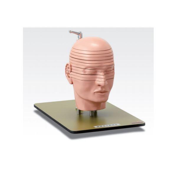 頭部水平断模型/人体解剖模型 【12分解】 J-118-0【代引不可】