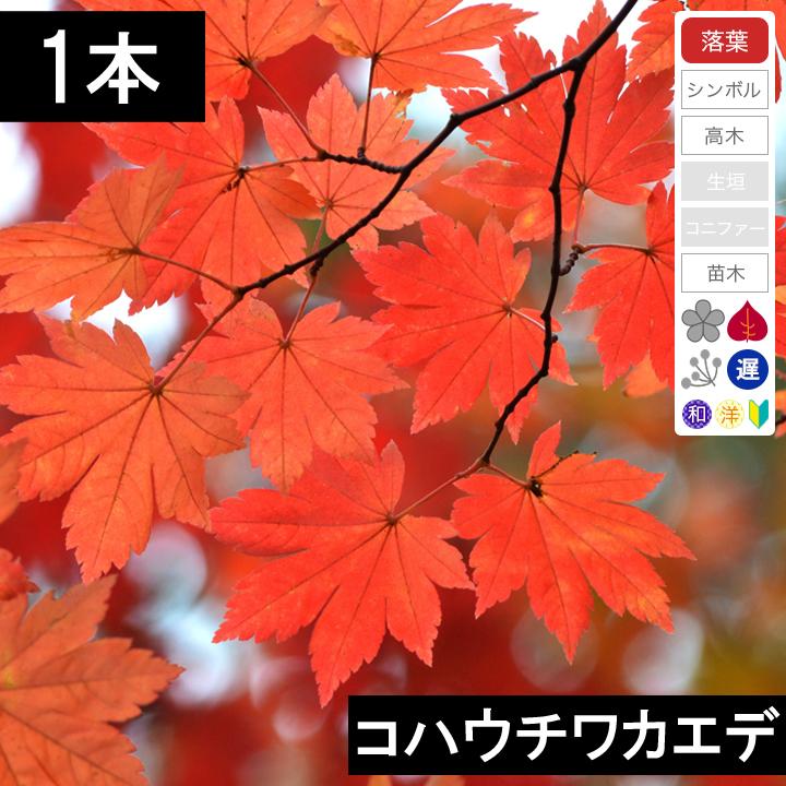 落葉 高木 シンボルツリー 1本 高品質 セール特価 コハウチワカエデ 高さ30cm程度 苗木