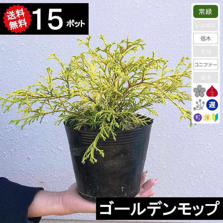【送料無料】【15ポット】コニファー ゴールデンモップ ポット直径15cm 樹高20cm位~