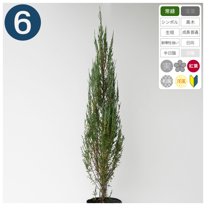 6本 / ブルーアロー 樹高90cm~1.0m程度 ポット直径21cm コニファー ◆送料無料