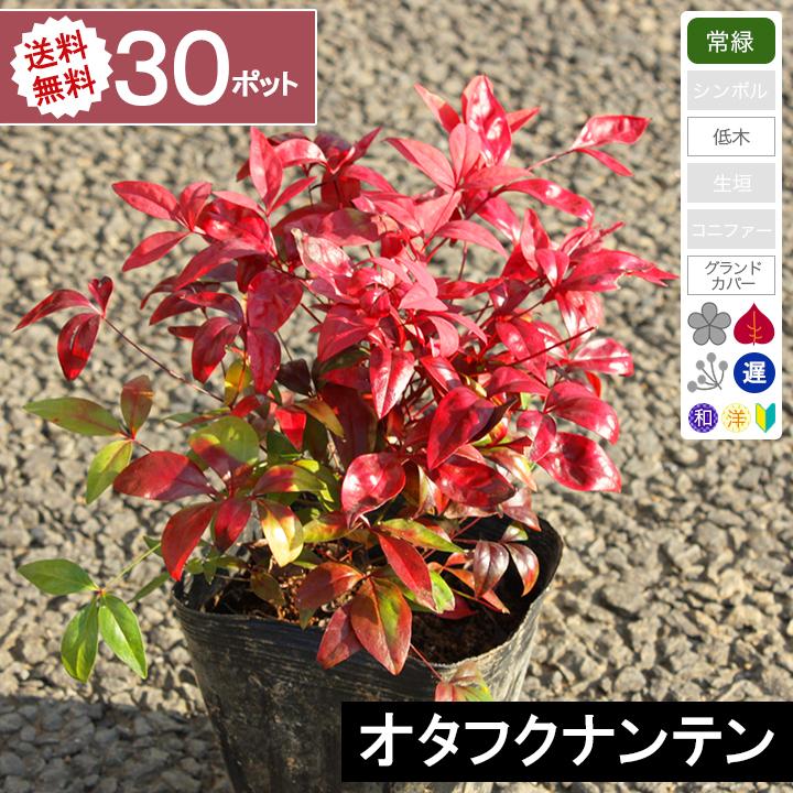 【30ポット】【送料無料】オタフクナンテン 高さ15cm程度 ポット直径12cm