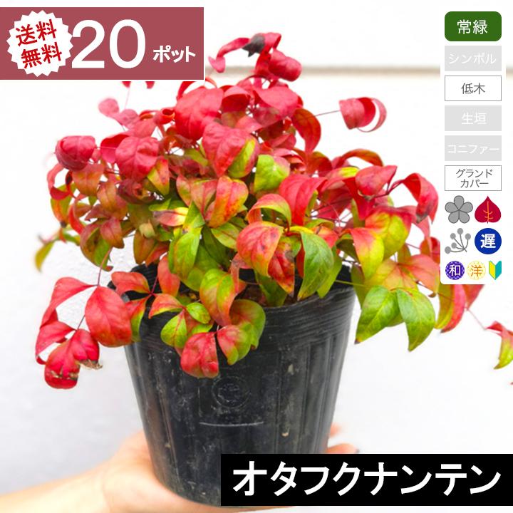 【20ポット】【送料無料】オタフクナンテン 高さ20cm程度 ポット直径15cm