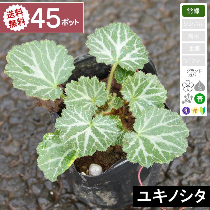 【45ポット】【送料無料】ユキノシタ 幅10cm~15cm程度 ポット直径9cm