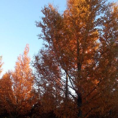 【10本セット】【6カ月枯れ保証】「メタセコイア」 苗木 0.3m~0.5m程度