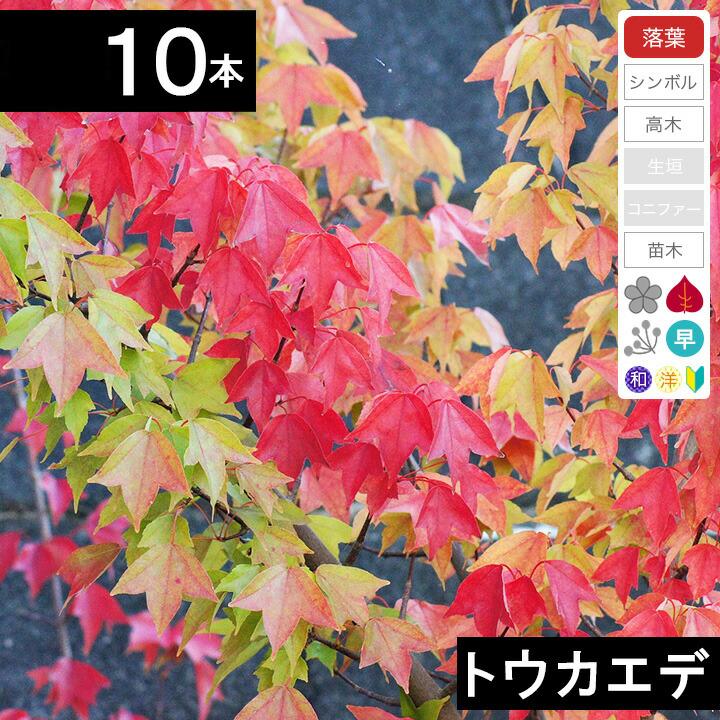 ◆送料無料◆【10本】 トウカエデ苗木 高さ70cm~1.0m程度◆【6ヶ月枯れ保証付き】
