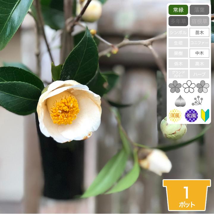 常緑 中木 サブツリー 白花 和洋風 初心者向き 【1ポット~】「白ヤブツバキ(藪椿)」 苗木 高さ30cm程度