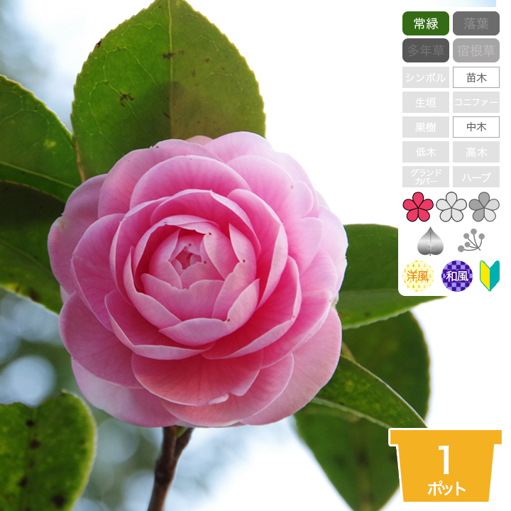Shop8463 Camellia Malocoides Camellia Malocoides Young Plant