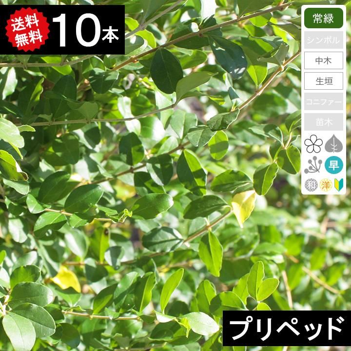 ◆送料無料◆【10本】 プリペット樹高70cm~1.0m◆枯れ保証付き