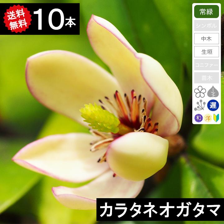 ◆送料無料◆【10本】 カラタネオガタマ 樹高50cm~80cm◆枯れ保証付き