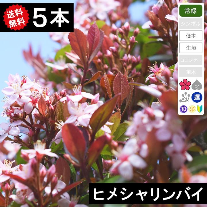 ◆送料無料◆【5本】 ヒメシャリンバイ 樹高50cm~80cm◆枯れ保証付き