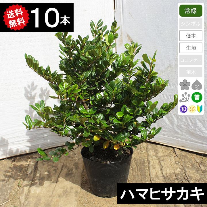 【送料無料】【10本】【生垣用】ハマヒサカキ(浜姫榊) 樹高30cm