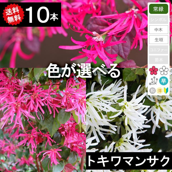 ◆送料無料 ◆【10本】 トキワマンサク 高さ70cm~1.0m程度◆枯れ保証付き