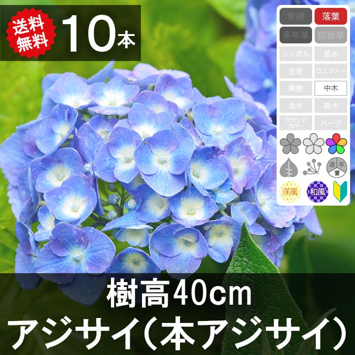 ◆送料無料◆【10本】 アジサイ 樹高30cm~50cm程度
