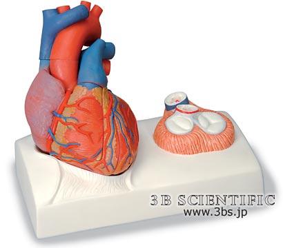 【送料無料】【無料健康相談 対象製品】世界基準 3Bサイエンフィティック社心臓、心臓弁レリーフ付、5分解モデル