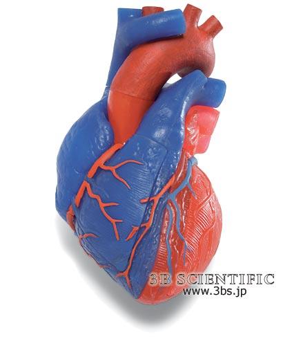 【送料無料】【無料健康相談 対象製品】世界基準 3Bサイエンフィティック社心臓、動・静脈血区分、5分解モデル