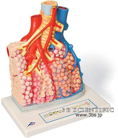 【送料無料】【無料健康相談 対象製品】世界基準 3Bサイエンフィティック社肺小葉と肺胞モデル