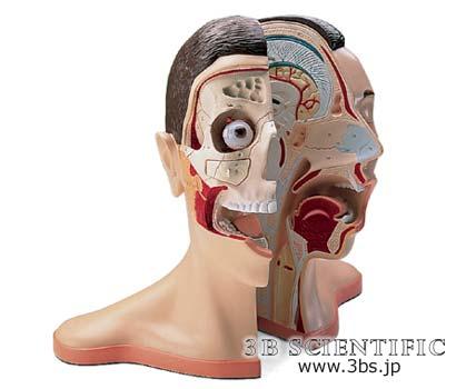 【送料無料】【無料健康相談 対象製品】世界基準 3Bサイエンフィティック社頭部と頚部、5分解モデル