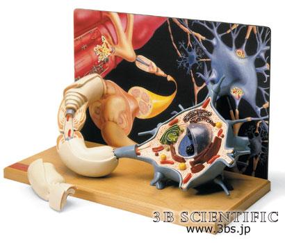 【送料無料】【無料健康相談 対象製品】世界基準 3Bサイエンフィティック社運動ニューロンモデル