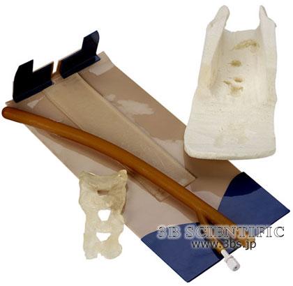 【送料無料】【無料健康相談付】世界基準 3Bサイエンフィティック社皮膚、筋、脊髄(W44031用)