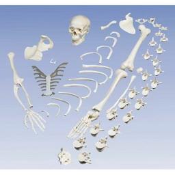 【送料無料】【専門家による1年間の無料介護相談付】3B社 骨格分離モデル(全身骨格分離模型)(A05)