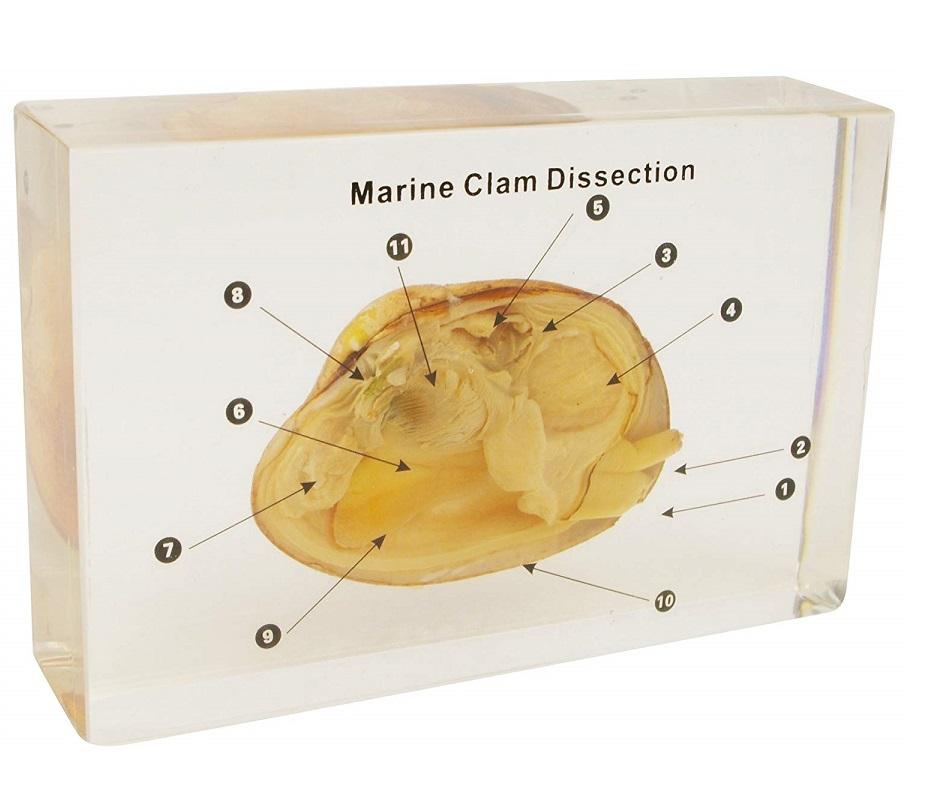 【送料無料】【無料健康相談付】二枚貝の解剖 樹脂封入標本