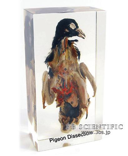 【送料無料】【無料健康相談 対象製品】ハトの解剖 樹脂封入標本