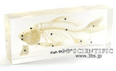 【送料無料】【無料健康相談 対象製品】魚の骨格標本 樹脂封入標本