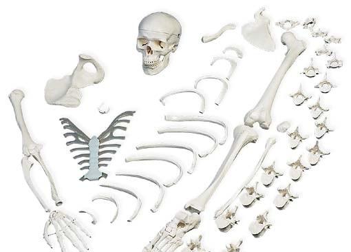 【送料無料】【専門家による1年間の無料介護相談付】3B社 骨格分離モデル(半身)52分解 骨格分離模型(A04)   【smtb-s】 【fsp2124-6m】【02P06Aug16】