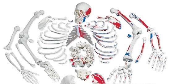 【送料無料】【専門家による1年間の無料介護相談付】3B社 骨格分離模型 骨格分離モデル筋表示型(全身)A05/2