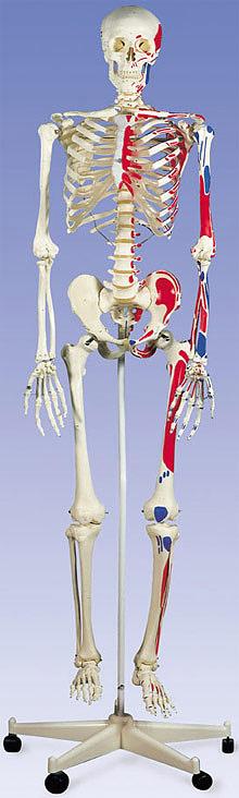 【送料無料】【無料健康相談 対象製品】3B社 等身大骨格模型 マックス骨格モデル 直立型スタンド仕様(a11)