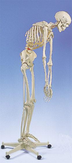 【送料無料】【無料健康相談付】3B社 A15 フレッド骨格モデル脊柱可動型 直立型スタンド仕様   【smtb-s】 【fsp2124-6m】【02P06Aug16】