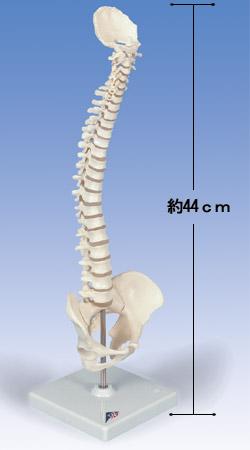 【送料無料】【無料健康相談 対象製品】3B社 小型脊柱模型 1/2縮尺型脊柱可動モデル (a18-21)   【smtb-s】 【fsp2124-6m】【02P06Aug16】
