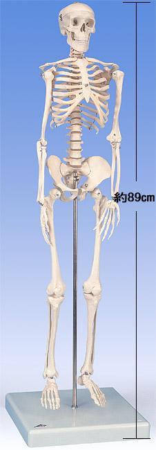 【送料無料】【無料健康相談付】3B社 ショーティー 1/2縮尺型全身骨格モデル 直立スタンド仕様(A18)