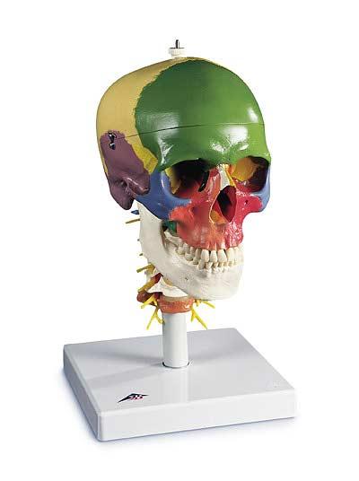 【送料無料】【無料健康相談 対象製品】3B社 頭蓋骨模型 頭蓋頚椎付骨別カラー4分解モデル (a20-2)