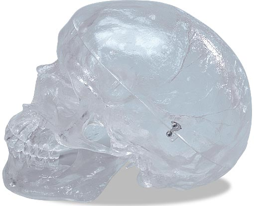 【送料無料】【無料健康相談 対象製品】3B社 頭蓋骨模型 頭蓋透明モデル (a20-t)   【smtb-s】 【fsp2124-6m】【02P06Aug16】