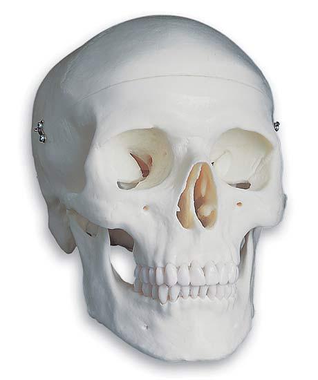 【感謝価格】【特価販売】 3B社 頭蓋骨模型 頭蓋標準モデル (a20)