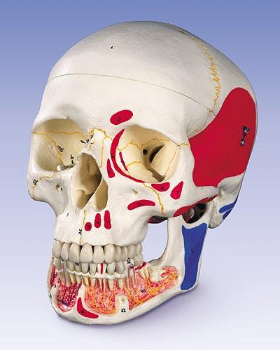 【送料無料】【無料健康相談 対象製品】3B社 頭蓋骨模型 頭蓋下顎開放・筋色表示3分解モデル (a22-1)   【smtb-s】 【fsp2124-6m】【02P06Aug16】