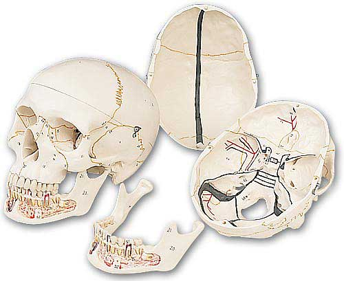 【送料無料】【無料健康相談 対象製品】3B社 頭蓋骨模型 頭蓋下顎開放型3分解モデル (a22)