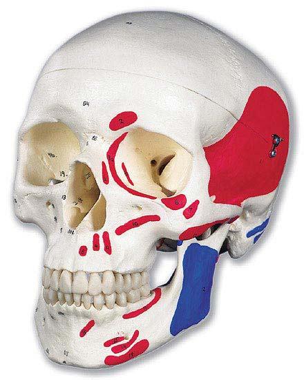 【送料無料】【無料健康相談 対象製品】3B社 頭蓋骨模型 頭蓋筋・番号表示付3分解モデル (a23)   【smtb-s】 【fsp2124-6m】【02P06Aug16】